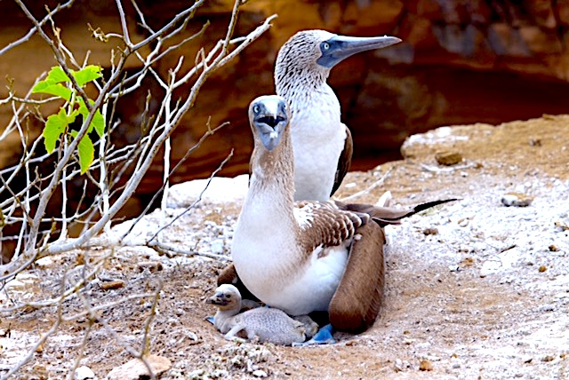 blue-footed babies
